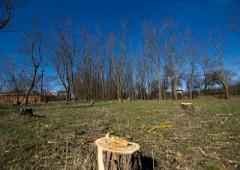 Вырубка деревьев в Голубицкой