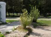 В Темрюкском парке на месте спиленных платанов вырастут новые