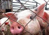 В Темрюкском районе зарегистрированы новые очаги африканской чумы свиней