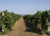 В Темрюкском районе молодые люди похитили 9 тонн винограда