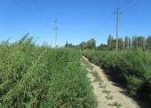 В 12 поселениях Темрюкского района выявлены очаги амброзии