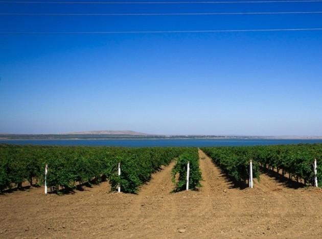 Виноградники в Темрюкском районе