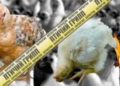 Вспышку гриппа птиц зафиксировали в Темрюкском районе