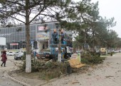 В Темрюке на улице Ленина вместо спиленных сосен высадят клены