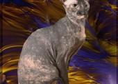 Нашелся кот породы Сфинкс (Петерболд)!!