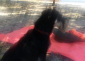 Пропала собака цвергшнауцер