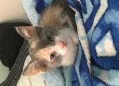 Украли трёхцветную кошку ( котёнка )