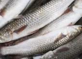 В Черном и Азовском море действует запрет на вылов кефалей