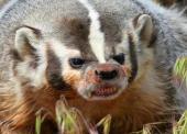 В Темрюкском районе местного жителя укусил дикий барсук