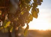 «Фанагория» высадила 75 га новых элитных виноградников