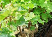 Саженцы винограда с доставкой в Темрюк по 250 рублей